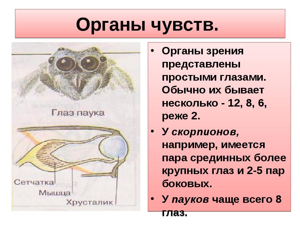 Органы чувств. Органы зрения представлены простыми глазами. Обычно их бывает...