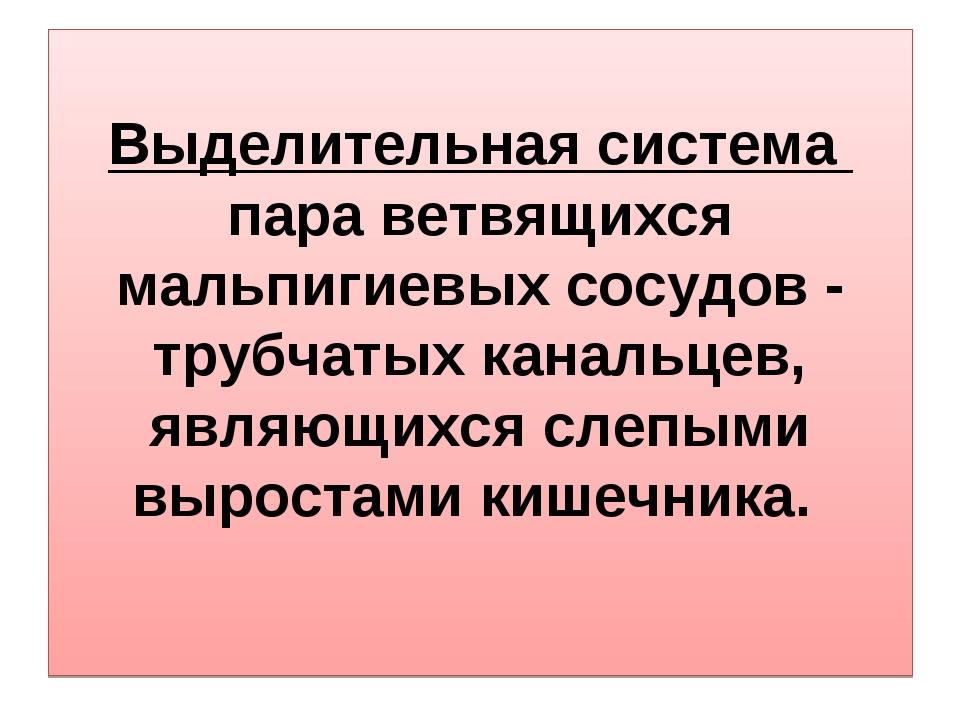 Выделительная система пара ветвящихся мальпигиевых сосудов - трубчатых каналь...