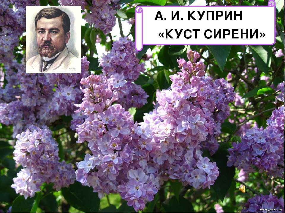 А. И. КУПРИН «КУСТ СИРЕНИ»