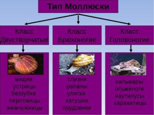 Тип Моллюски Класс Двустворчатые Класс Головоногие Класс Брюхоногие мидии ус