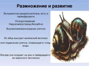 Размножение и развитие Большинство раздельнополые, есть и гермафродиты Оплодо