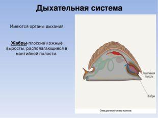 Дыхательная система Имеются органы дыхания Жабры-плоские кожные выросты, расп