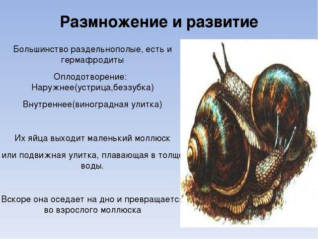 Размножение и развитие Большинство раздельнополые, есть и гермафродиты Оплодо...