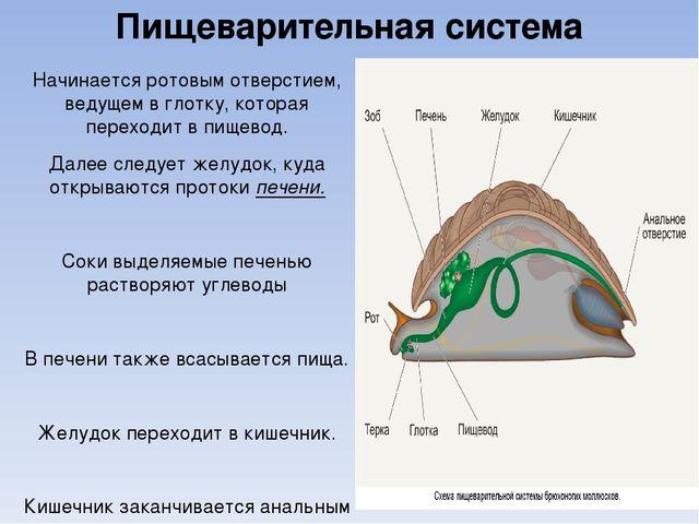 Пищеварительная система Начинается ротовым отверстием, ведущем в глотку, кото...