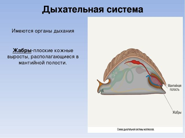 Дыхательная система Имеются органы дыхания Жабры-плоские кожные выросты, расп...