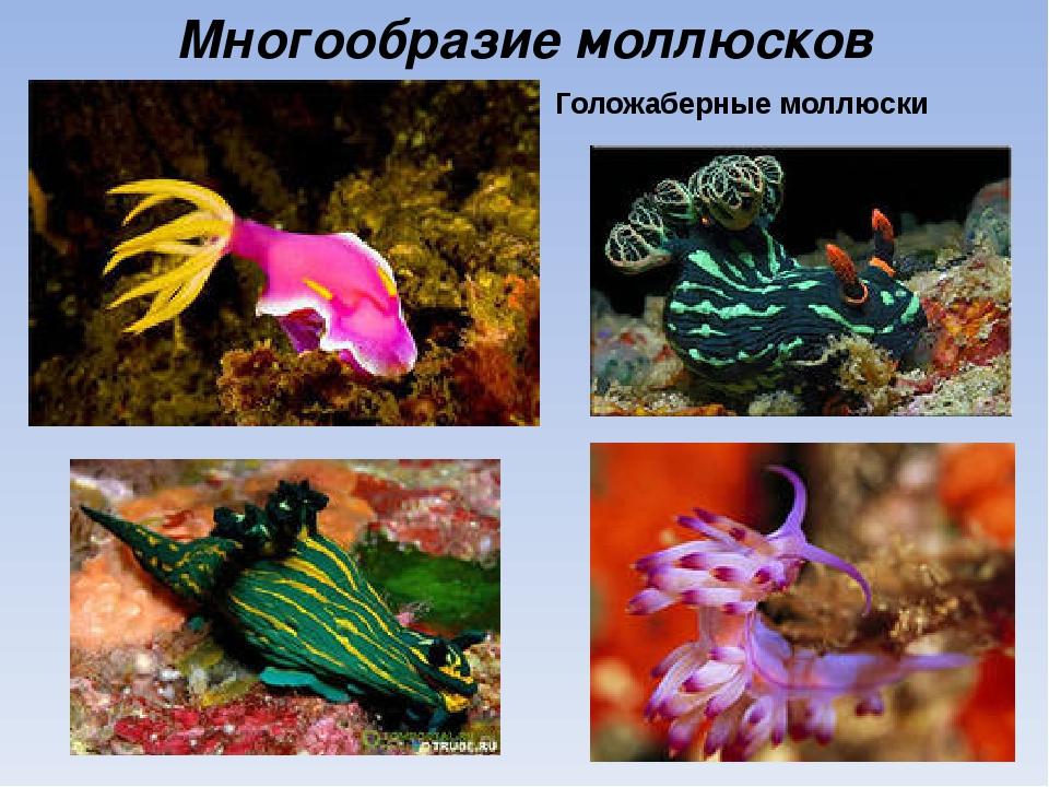 Многообразие моллюсков Голожаберные моллюски