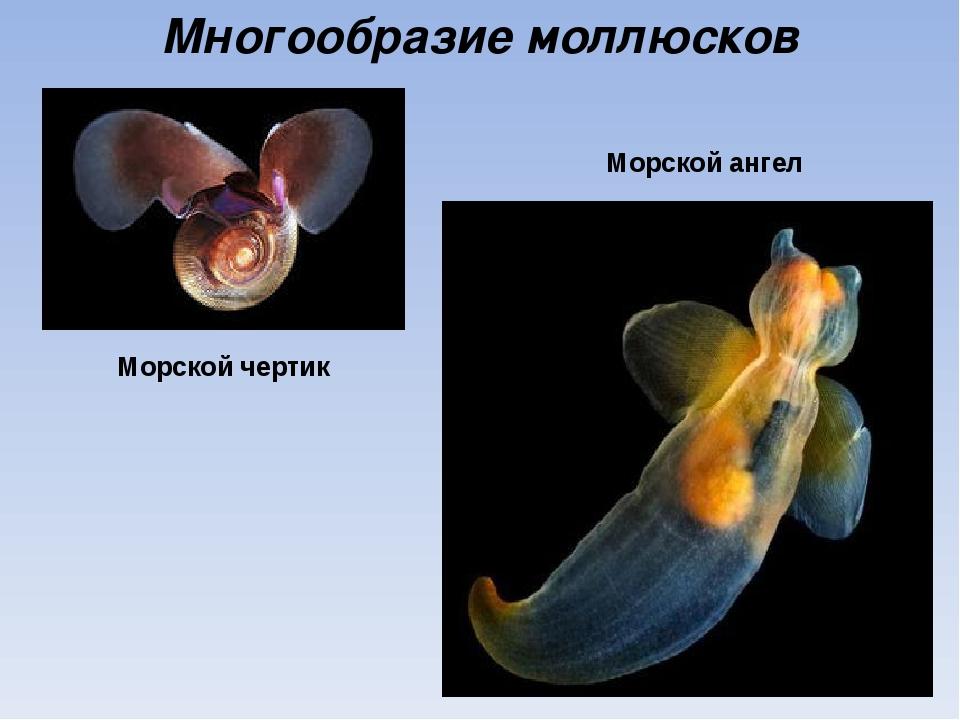 Многообразие моллюсков Морской ангел Морской чертик