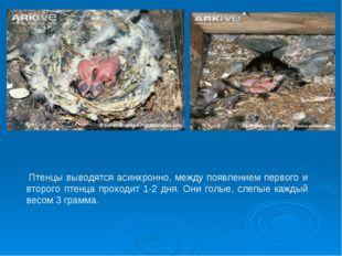 Птенцы выводятся асинхронно, между появлением первого и второго птенца прохо