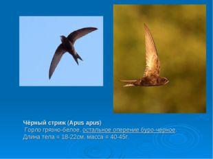 Чёрный стриж (Apus apus) Горло грязно-белое,остальное оперение буро-черное.