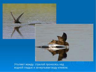 Утоляют жажду, стрелой проносясь над водной гладью и зачерпывая воду клювом,