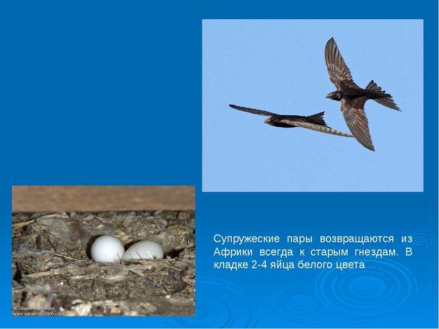 Супружеские пары возвращаются из Африки всегда к старым гнездам. В кладке 2-4...