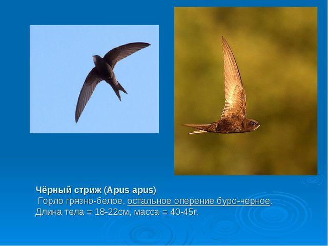 Чёрный стриж (Apus apus) Горло грязно-белое,остальное оперение буро-черное....