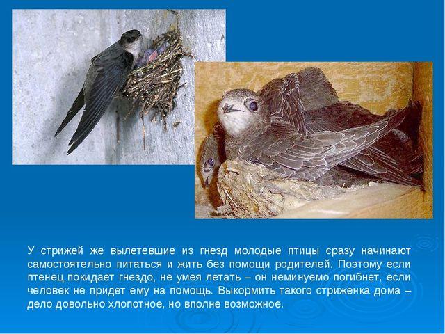 У стрижей же вылетевшие из гнезд молодые птицы сразу начинают самостоятельно...
