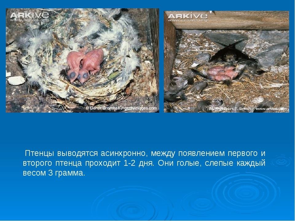 Птенцы выводятся асинхронно, между появлением первого и второго птенца прохо...
