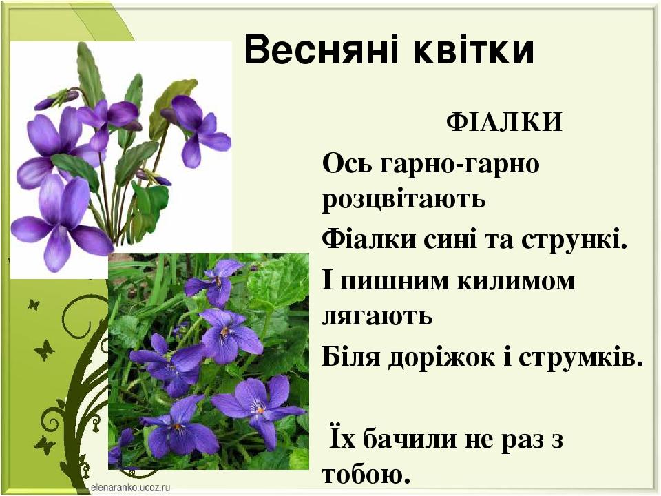 Весняні квітки ФІАЛКИ Ось гарно-гарно розцвітають Фіалки сині та стрункі. І п...