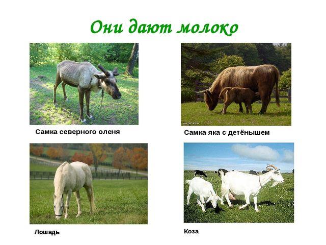 Они дают молоко Коза Лошадь Самка яка с детёнышем Самка северного оленя