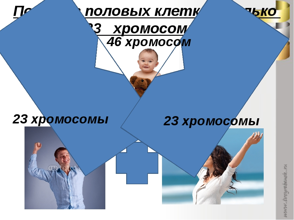 Почему в половых клетках только 23 хромосомы? 23 хромосомы 23 хромосомы 46 хр...