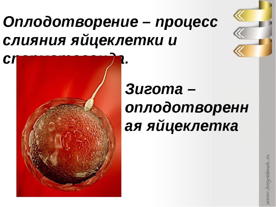 Оплодотворение – процесс слияния яйцеклетки и сперматозоида. Зигота – оплодот...