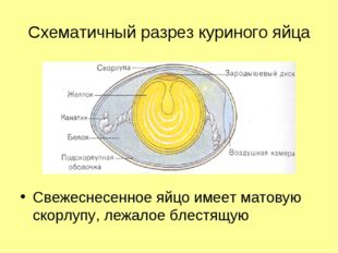 Схематичный разрез куриного яйца Свежеснесенное яйцо имеет матовую скорлупу,