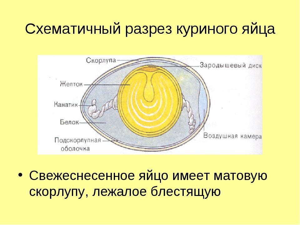 Схематичный разрез куриного яйца Свежеснесенное яйцо имеет матовую скорлупу,...