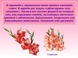 В переводе с латинского этот цветок означает «меч». В народе его зовут «сабля
