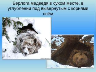 Берлога медведя в сухом месте, в углублении под вывернутым с корнями пнём