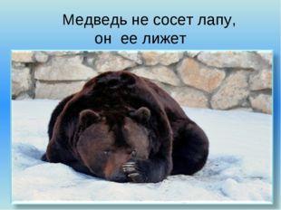 Медведь не сосет лапу, он ее лижет