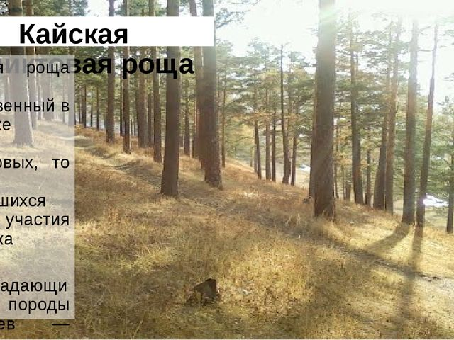 Кайская реликтовая роща Кайская роща — единственный в Иркутске массив реликто...