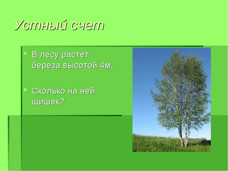 Устный счет В лесу растет береза высотой 4м. Сколько на ней шишек?