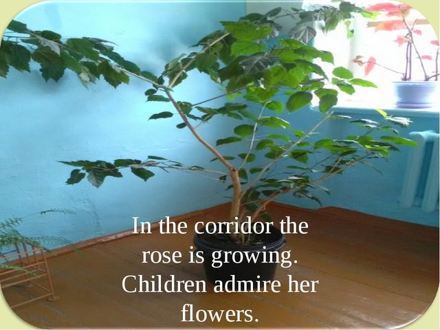In the corridor the rose is growing. Children admire her flowers.