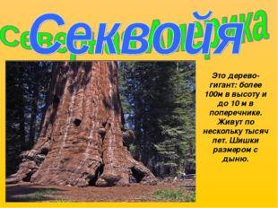 Это дерево-гигант: более 100м в высоту и до 10 м в поперечнике. Живут по неск