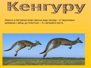 Именно в Австралии живут разные виды кенгуру – от карликовых, размеров с зайц