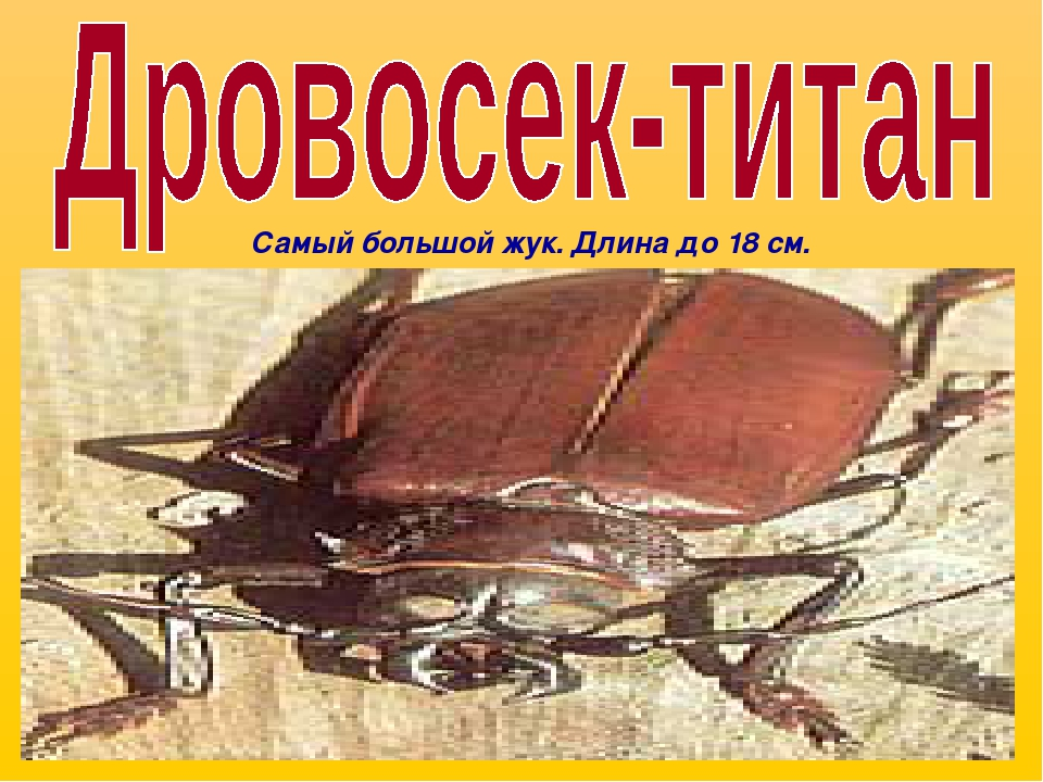 Самый большой жук. Длина до 18 см.