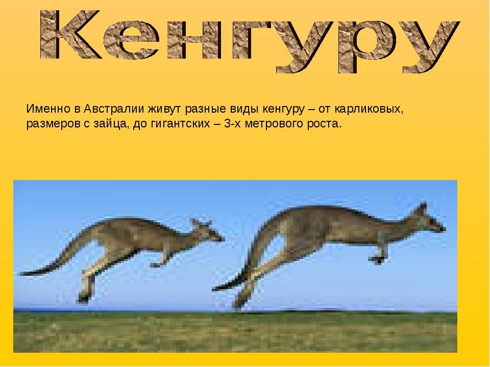Именно в Австралии живут разные виды кенгуру – от карликовых, размеров с зайц...