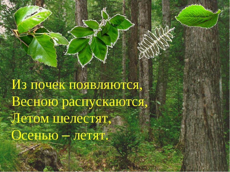 Из почек появляются, Весною распускаются, Летом шелестят, Осенью – летят.