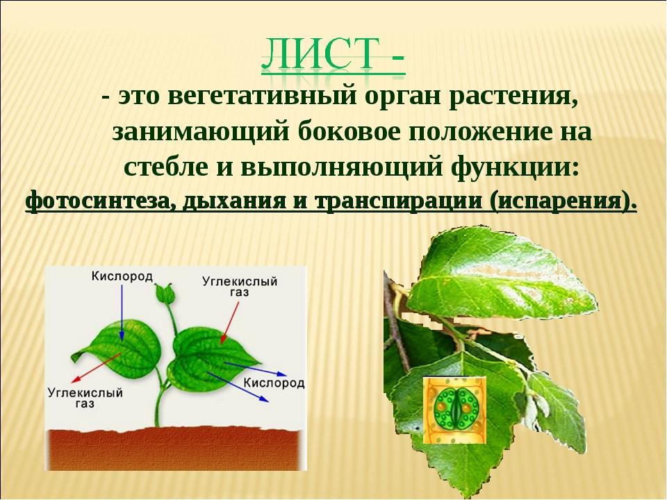 - это вегетативный орган растения, занимающий боковое положение на стебле и в...