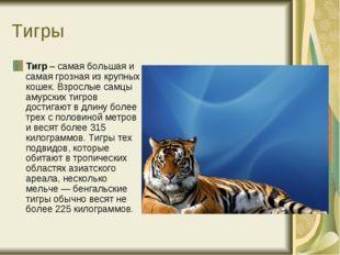 Тигры Тигр – самая большая и самая грозная из крупных кошек. Взрослые самцы а