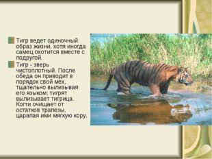 Тигр ведет одиночный образ жизни, хотя иногда самец охотится вместе с подруго