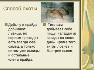 Способ охоты Добычу в прайде добывают львицы, но первым приходит есть всегда