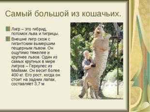 Самый большой из кошачьих. Лигр – это гибрид, потомок льва и тигрицы. Внешне