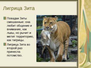 Лигрица Зита Повадки Зиты смешанные: она любит общение и внимание, как львы,