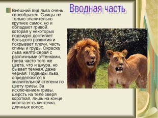 Внешний вид льва очень своеобразен.Самцы не только значительно крупнее самок