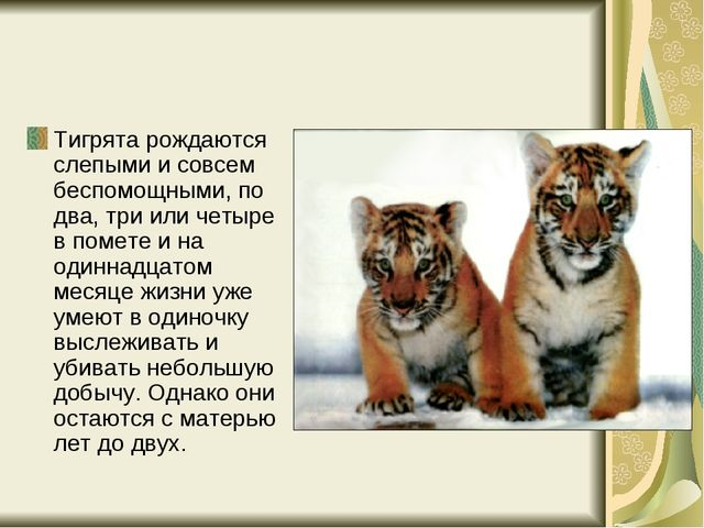 Тигрята рождаются слепыми и совсем беспомощными, по два, три или четыре в пом...