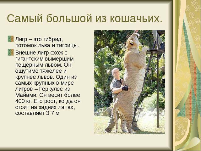 Самый большой из кошачьих. Лигр – это гибрид, потомок льва и тигрицы. Внешне...