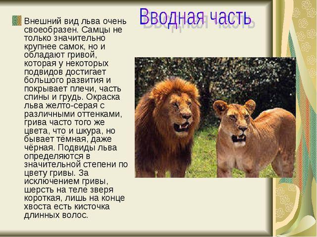 Внешний вид льва очень своеобразен.Самцы не только значительно крупнее самок...