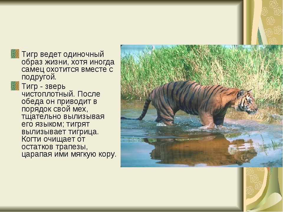 Тигр ведет одиночный образ жизни, хотя иногда самец охотится вместе с подруго...