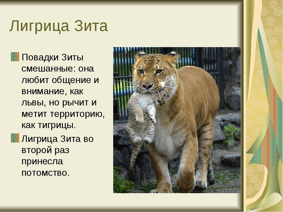 Лигрица Зита Повадки Зиты смешанные: она любит общение и внимание, как львы,...