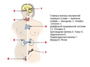Главные железы внутренней секреции (слева —мужчина, справа —женщина): 1.Эп