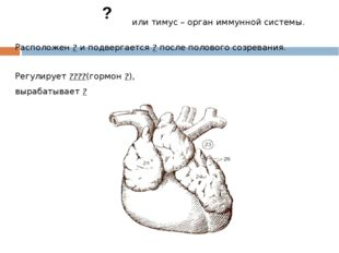 или тимус – орган иммунной системы. Расположен ? и подвергается ? после поло