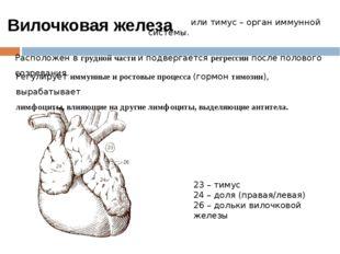 или тимус – орган иммунной системы. Расположен в грудной части и подвергаетс